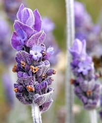 Single_lavendar_flower02.jpg